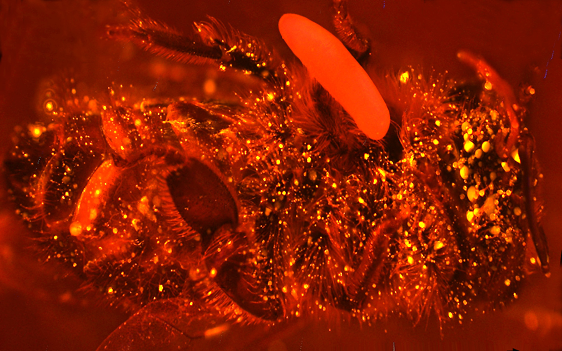 Biene mit Ei, bei der Abgabe von Stickstoffmonoxid durch Fluoreszenzfarbstoff sichtbar gemacht wurde